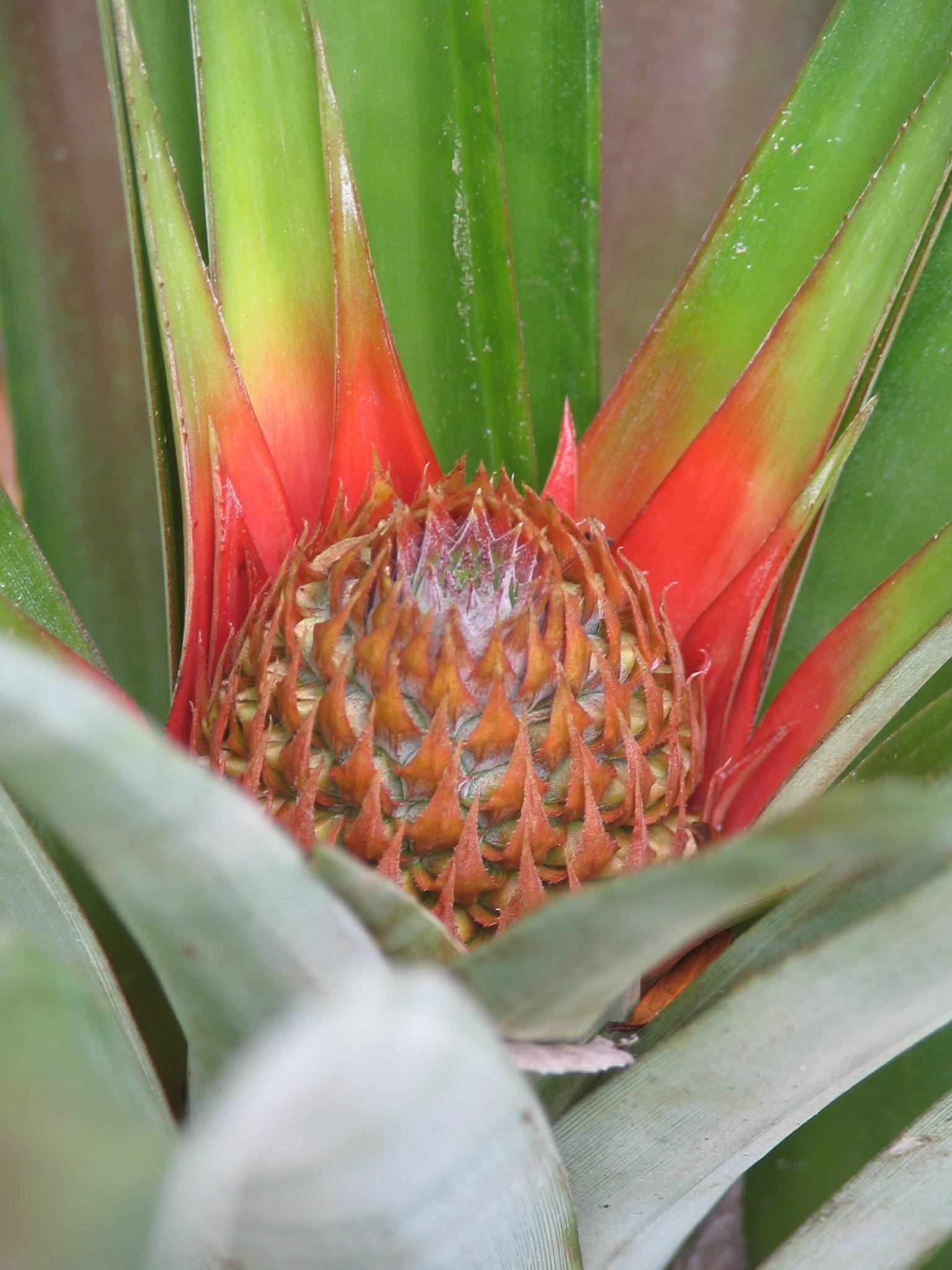 pineapple04
